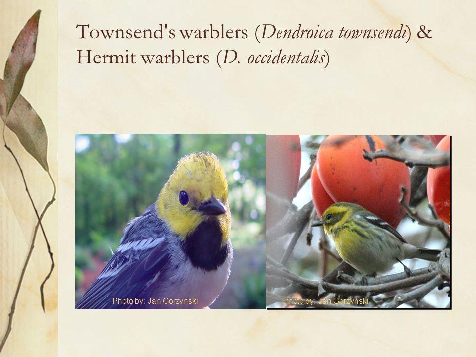 Townsend's warblers (Dendroica townsendi) & Hermit warblers (D. occidentalis) Photo by: Jan Gorzynski