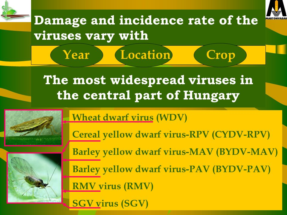 Damage and incidence rate of the viruses vary with The most widespread viruses in the central part of Hungary Wheat dwarf virus (WDV) Cereal yellow dwarf virus-RPV (CYDV-RPV) Barley yellow dwarf virus-MAV (BYDV-MAV) Barley yellow dwarf virus-PAV (BYDV-PAV) RMV virus (RMV) SGV virus (SGV) YearLocationCrop
