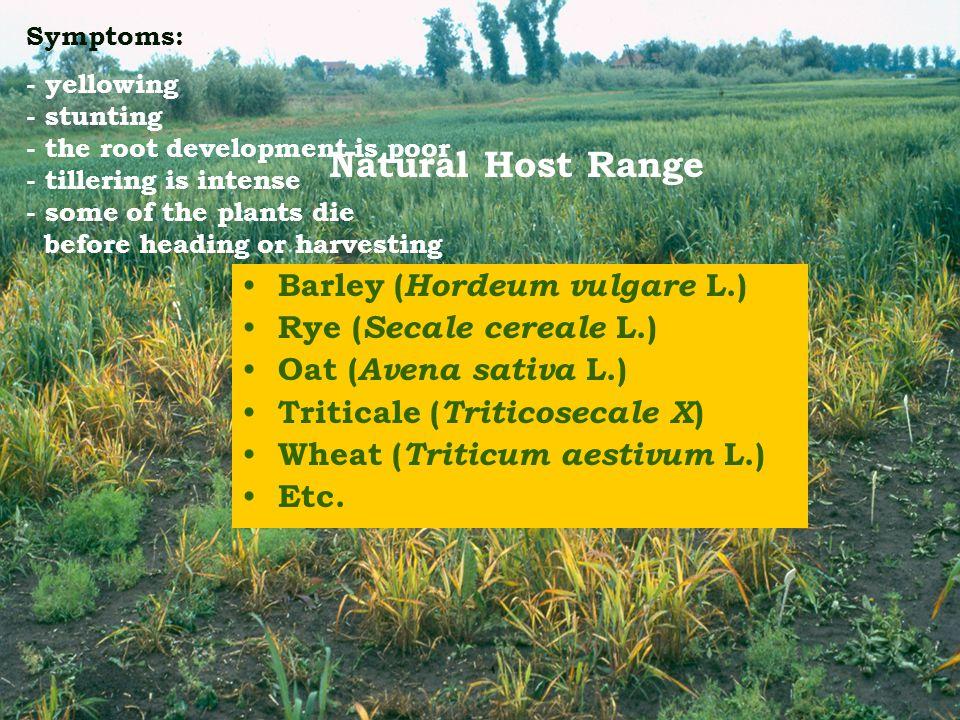 Natural Host Range Barley ( Hordeum vulgare L.) Rye ( Secale cereale L.) Oat ( Avena sativa L.) Triticale ( Triticosecale X ) Wheat ( Triticum aestivu