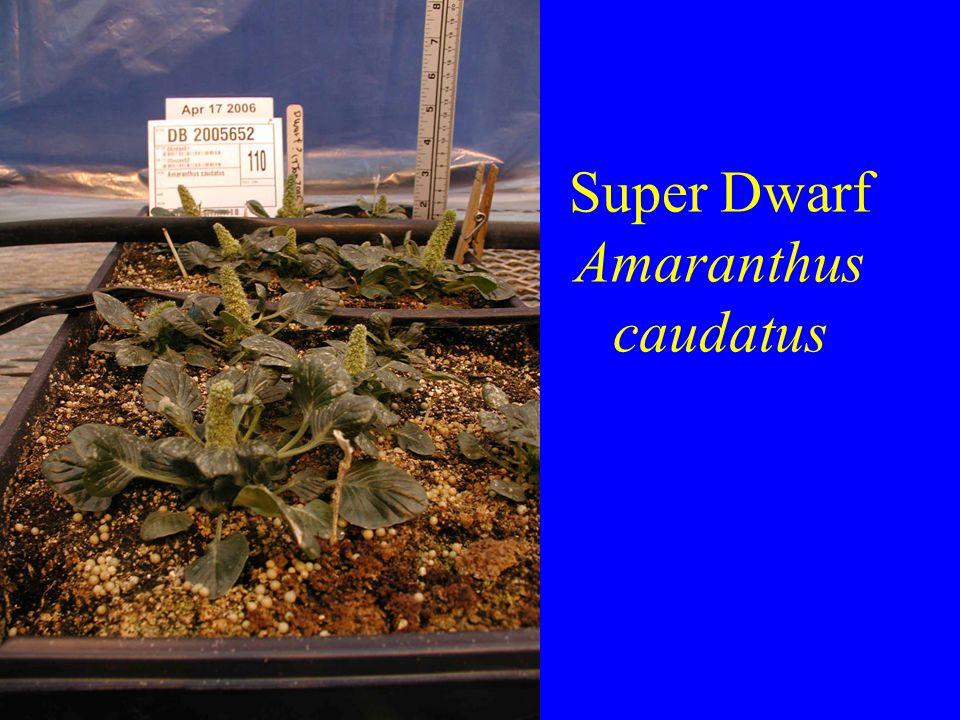 Super Dwarf Amaranthus caudatus