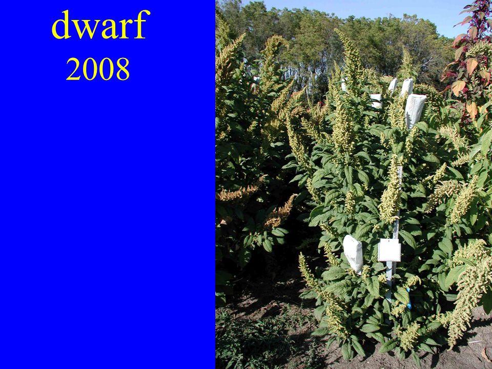 dwarf 2008