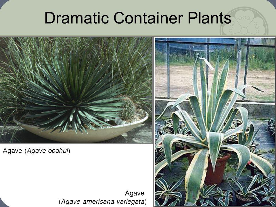 Dramatic Container Plants Agave (Agave ocahui) Agave (Agave americana variegata)