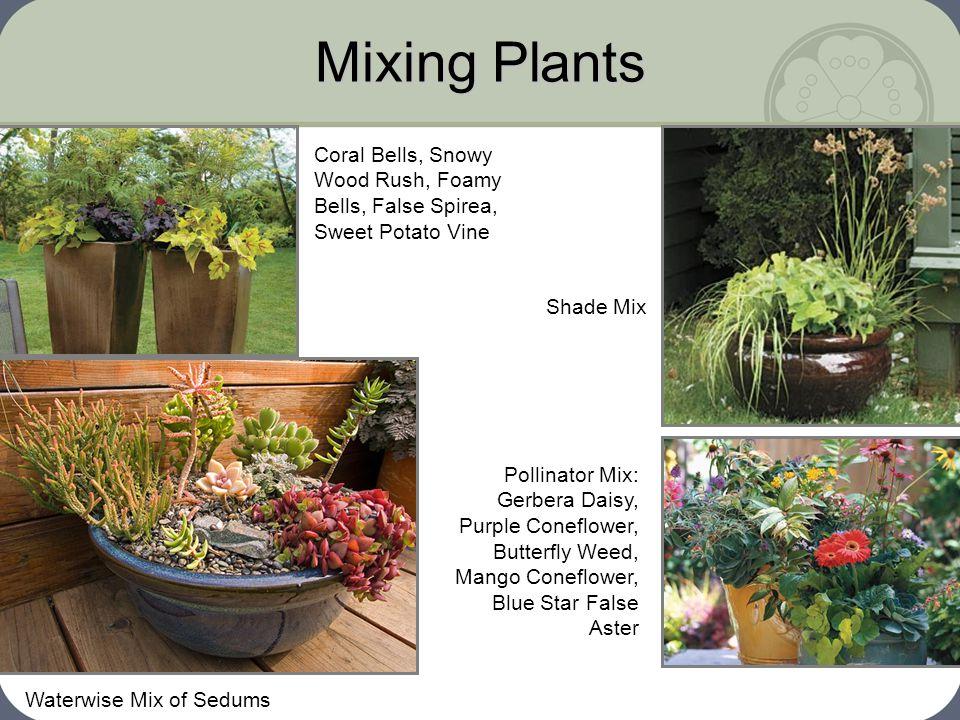 Mixing Plants Waterwise Mix of Sedums Shade Mix Coral Bells, Snowy Wood Rush, Foamy Bells, False Spirea, Sweet Potato Vine Pollinator Mix: Gerbera Dai