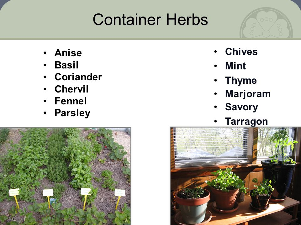 Container Herbs Anise Basil Coriander Chervil Fennel Parsley Chives Mint Thyme Marjoram Savory Tarragon