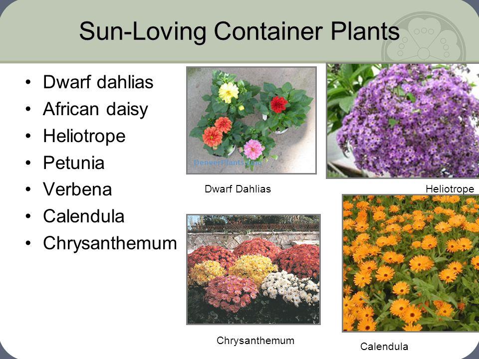 Sun-Loving Container Plants Dwarf dahlias African daisy Heliotrope Petunia Verbena Calendula Chrysanthemum Calendula HeliotropeDwarf Dahlias