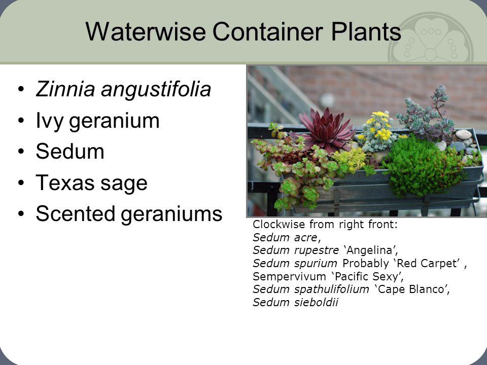 Waterwise Container Plants Zinnia angustifolia Ivy geranium Sedum Texas sage Scented geraniums Clockwise from right front: Sedum acre, Sedum rupestre