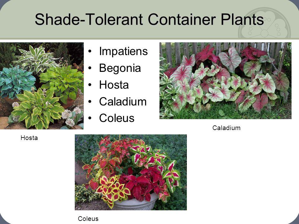 Shade-Tolerant Container Plants Impatiens Begonia Hosta Caladium Coleus Hosta Caladium