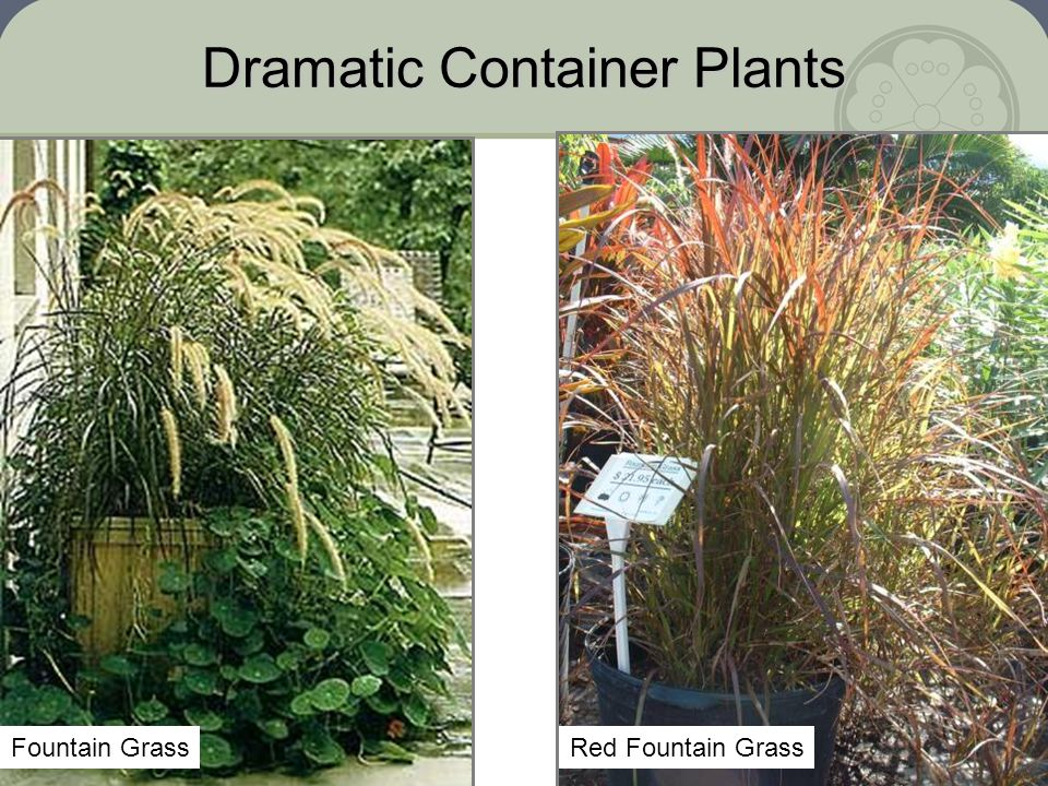Dramatic Container Plants Red Fountain GrassFountain Grass