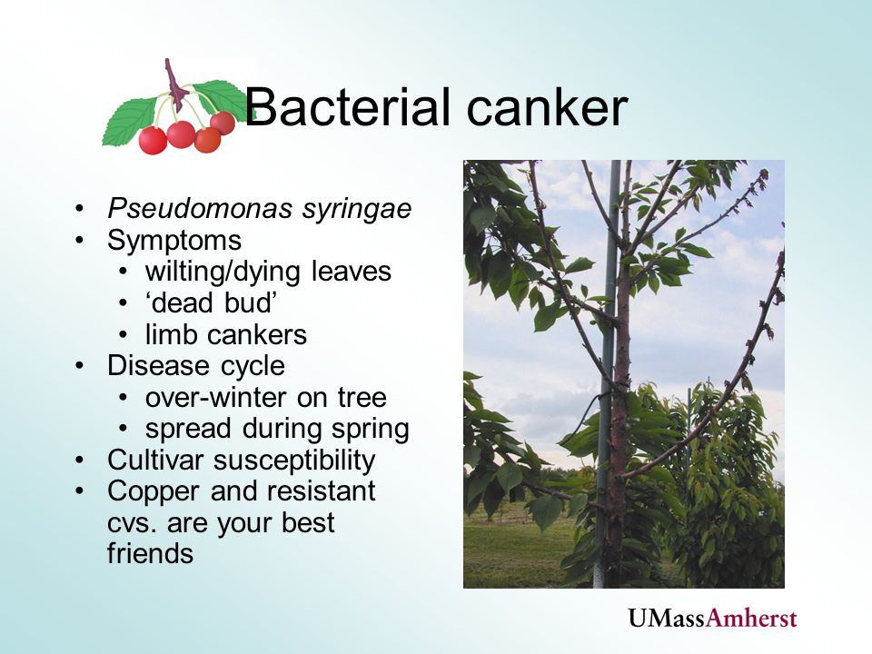 Bacterial canker Pseudomonas syringae Symptoms wilting/dying leaves 'dead bud' limb cankers Disease cycle over-winter on tree spread during spring Cultivar susceptibility Copper and resistant cvs.