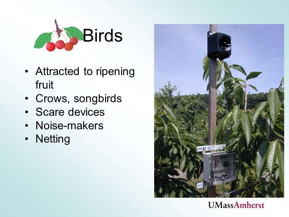 Birds Attracted to ripening fruit Crows, songbirds Scare devices Noise-makers Netting