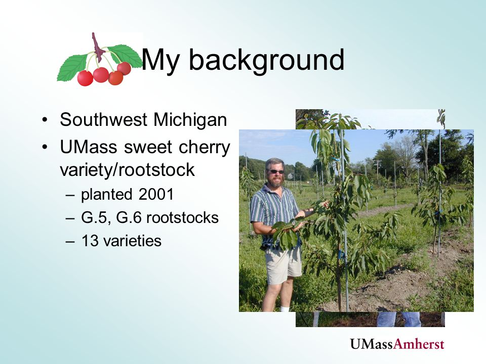 My background Southwest Michigan UMass sweet cherry variety/rootstock –planted 2001 –G.5, G.6 rootstocks –13 varieties