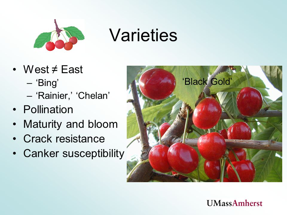 Varieties West ≠ East –'Bing' –'Rainier,' 'Chelan' Pollination Maturity and bloom Crack resistance Canker susceptibility 'Black Gold'