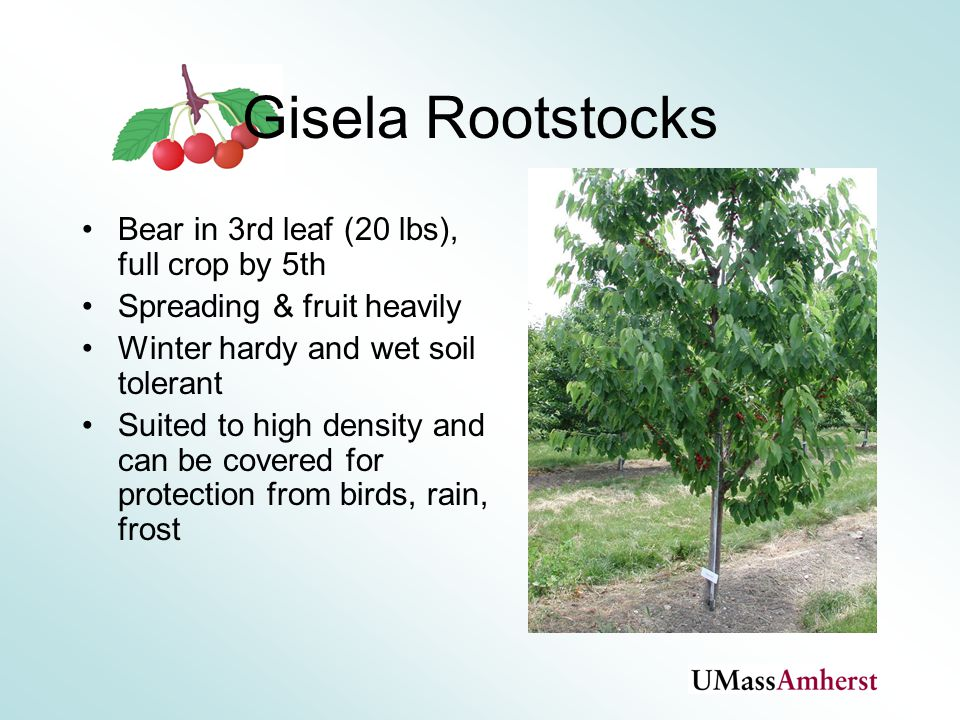 Gisela ® Rootstocks Gisela ® 5 Dwarf, 45% of Mazzard Precocious Needs support Runting and small fruit size.