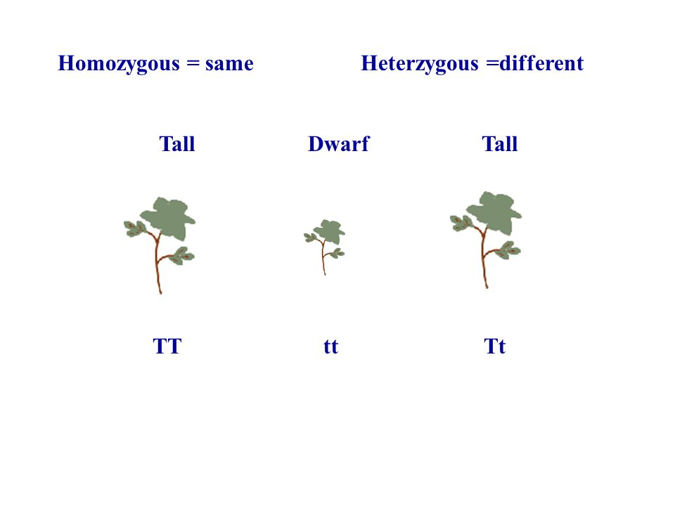 Homozygous = same Heterzygous =different Tall Dwarf Tall TT tt Tt