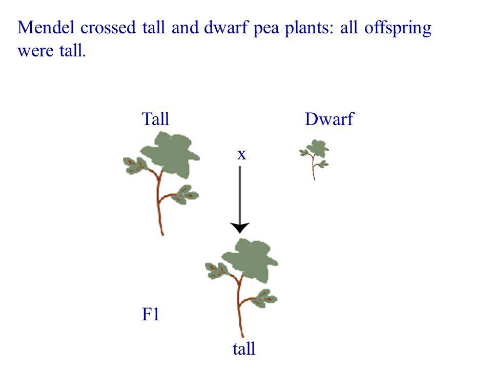 Mendel crossed tall and dwarf pea plants: all offspring were tall. Tall Dwarf x F1 tall