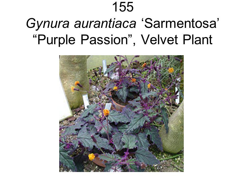 "155 Gynura aurantiaca 'Sarmentosa' ""Purple Passion"", Velvet Plant"