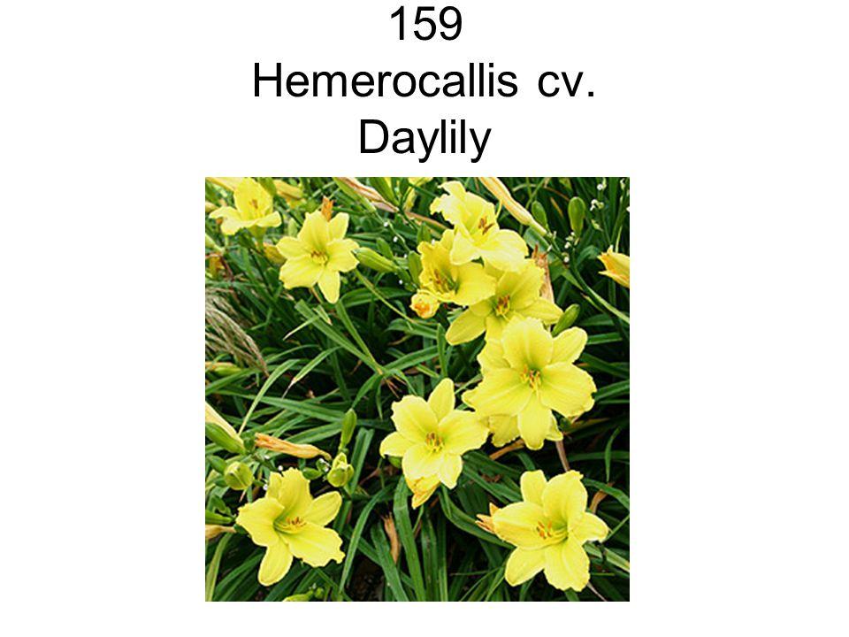 159 Hemerocallis cv. Daylily