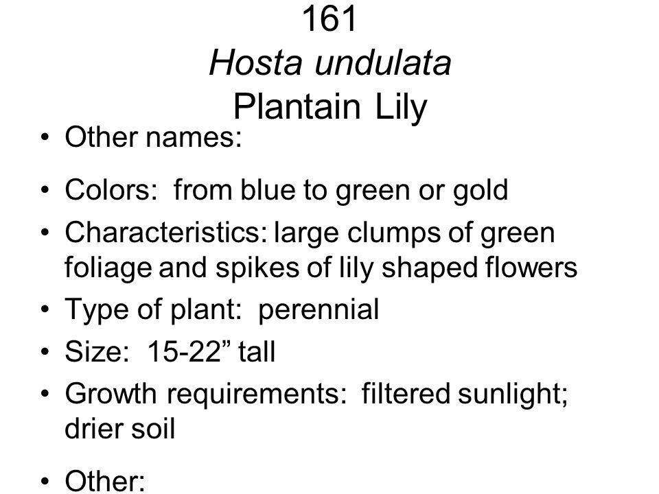 161 Hosta undulata Plantain Lily Other names: Colors: from blue to green or gold Characteristics: large clumps of green foliage and spikes of lily sha