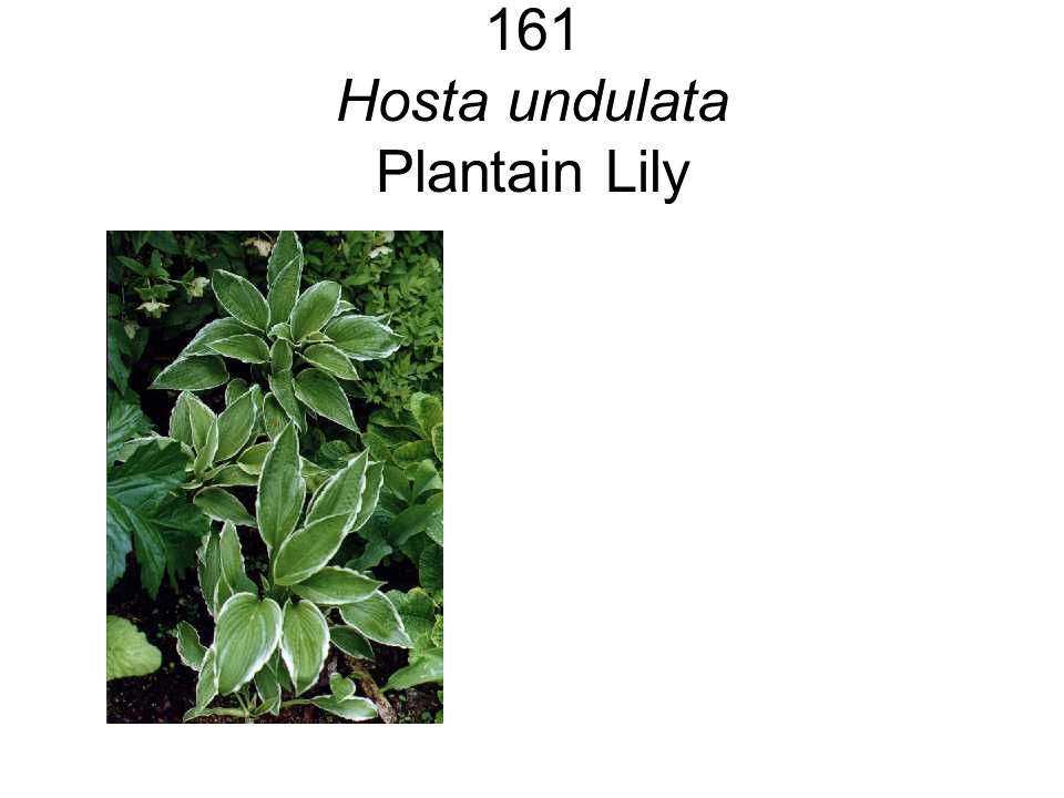 161 Hosta undulata Plantain Lily