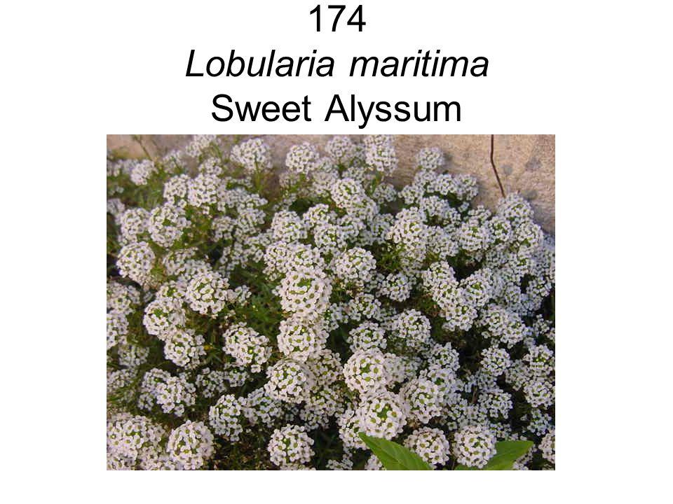 174 Lobularia maritima Sweet Alyssum