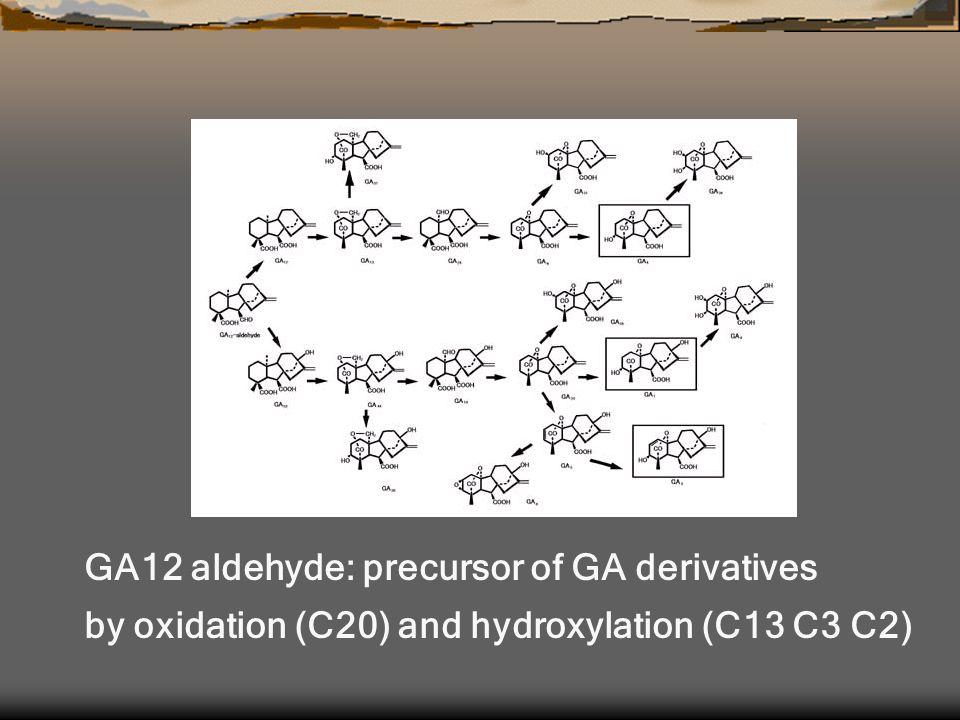 GA12 aldehyde: precursor of GA derivatives by oxidation (C20) and hydroxylation (C13 C3 C2)