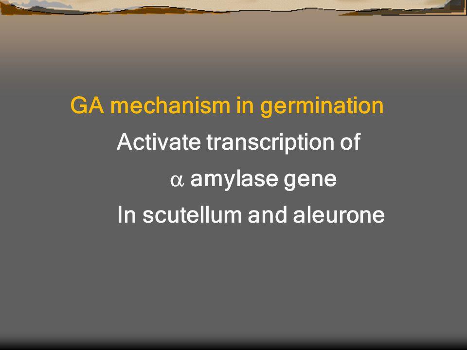 GA mechanism in germination Activate transcription of  amylase gene In scutellum and aleurone