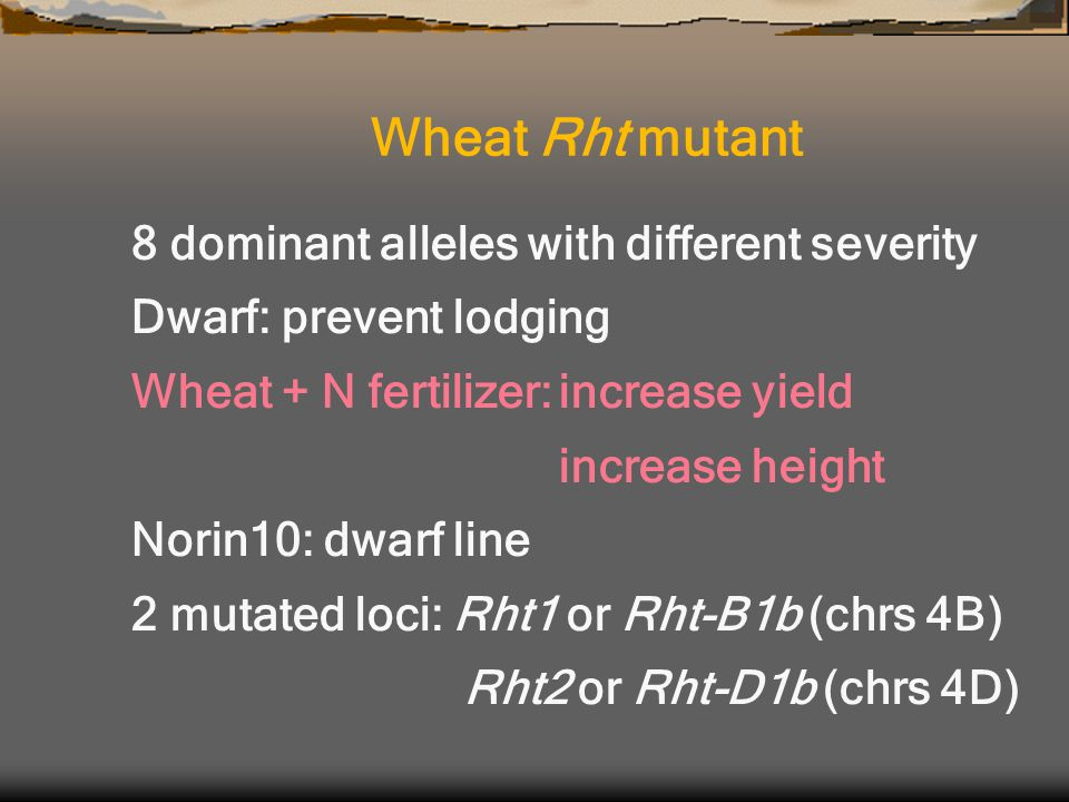 8 dominant alleles with different severity Dwarf: prevent lodging Wheat + N fertilizer:increase yield increase height Norin10: dwarf line 2 mutated loci: Rht1 or Rht-B1b (chrs 4B) Rht2 or Rht-D1b (chrs 4D) Wheat Rht mutant