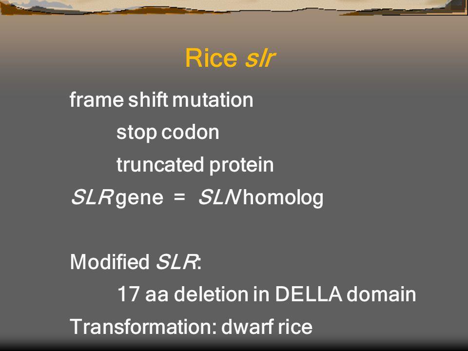 frame shift mutation stop codon truncated protein SLR gene = SLN homolog Modified SLR: 17 aa deletion in DELLA domain Transformation: dwarf rice Rice slr