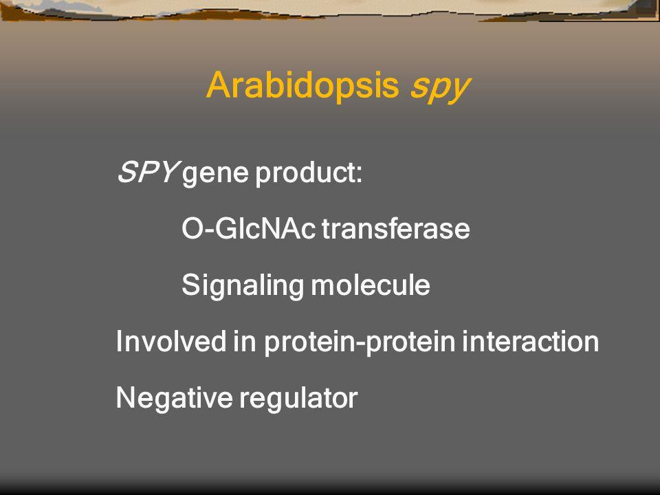SPY gene product: O-GlcNAc transferase Signaling molecule Involved in protein-protein interaction Negative regulator Arabidopsis spy