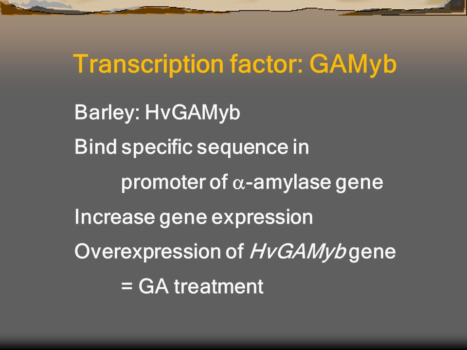 Barley: HvGAMyb Bind specific sequence in promoter of  -amylase gene Increase gene expression Overexpression of HvGAMyb gene = GA treatment Transcription factor: GAMyb
