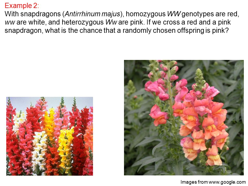 Example 2: With snapdragons (Antirrhinum majus), homozygous WW genotypes are red, ww are white, and heterozygous Ww are pink.
