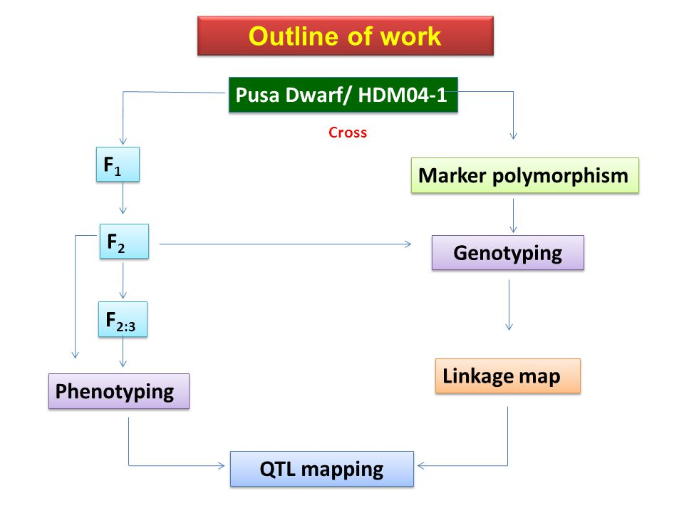 Outline of work Pusa Dwarf/ HDM04-1 F1F1 F1F1 F2F2 F2F2 F 2:3 Marker polymorphism Genotyping Linkage map Phenotyping QTL mapping Cross