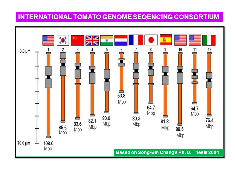 INTERNATIONAL TOMATO GENOME SEQENCING CONSORTIUM Based on Song-Bin Chang's Ph. D. Thesis 2004