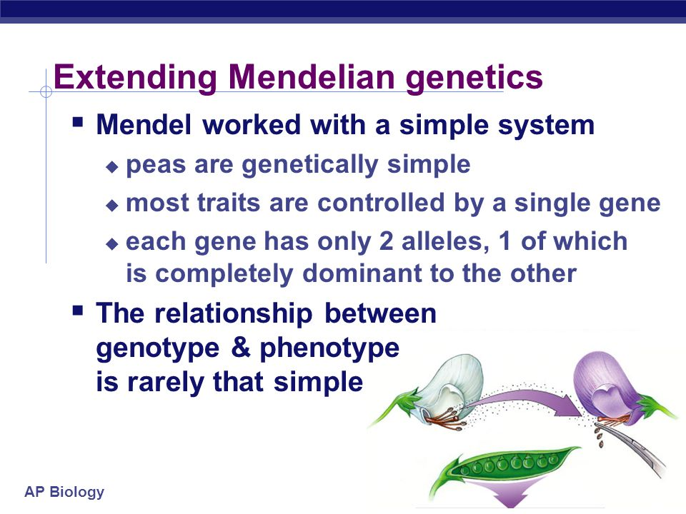 AP Biology Extending Mendelian genetics  Mendel worked with a simple system  peas are genetically simple  most traits are controlled by a single gene  each gene has only 2 alleles, 1 of which is completely dominant to the other  The relationship between genotype & phenotype is rarely that simple