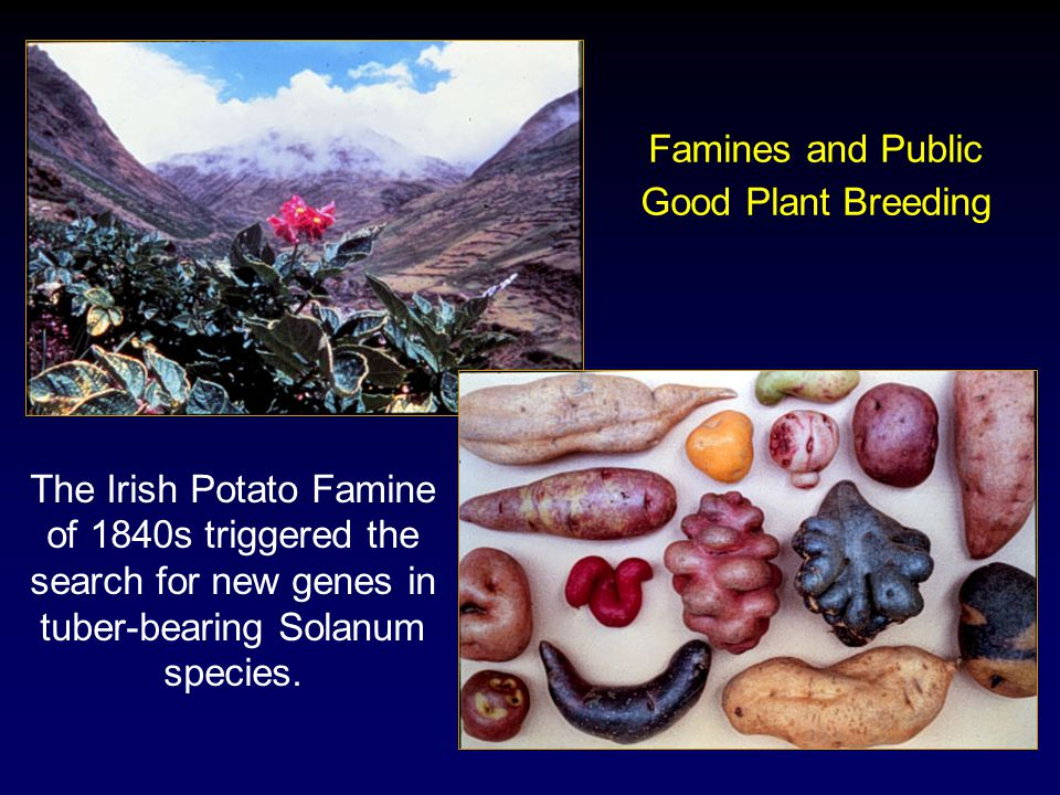 Famines and Public Good Plant Breeding The Irish Potato Famine of 1840s triggered the search for new genes in tuber-bearing Solanum species.