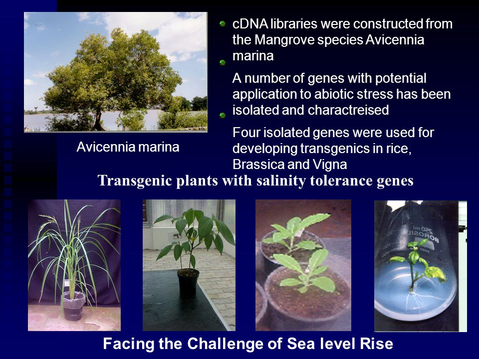cDNA libraries were constructed from the Mangrove species Avicennia marina A number of genes with potential application to abiotic stress has been isolated and charactreised Four isolated genes were used for developing transgenics in rice, Brassica and Vigna Transgenic plants with salinity tolerance genes Avicennia marina Facing the Challenge of Sea level Rise
