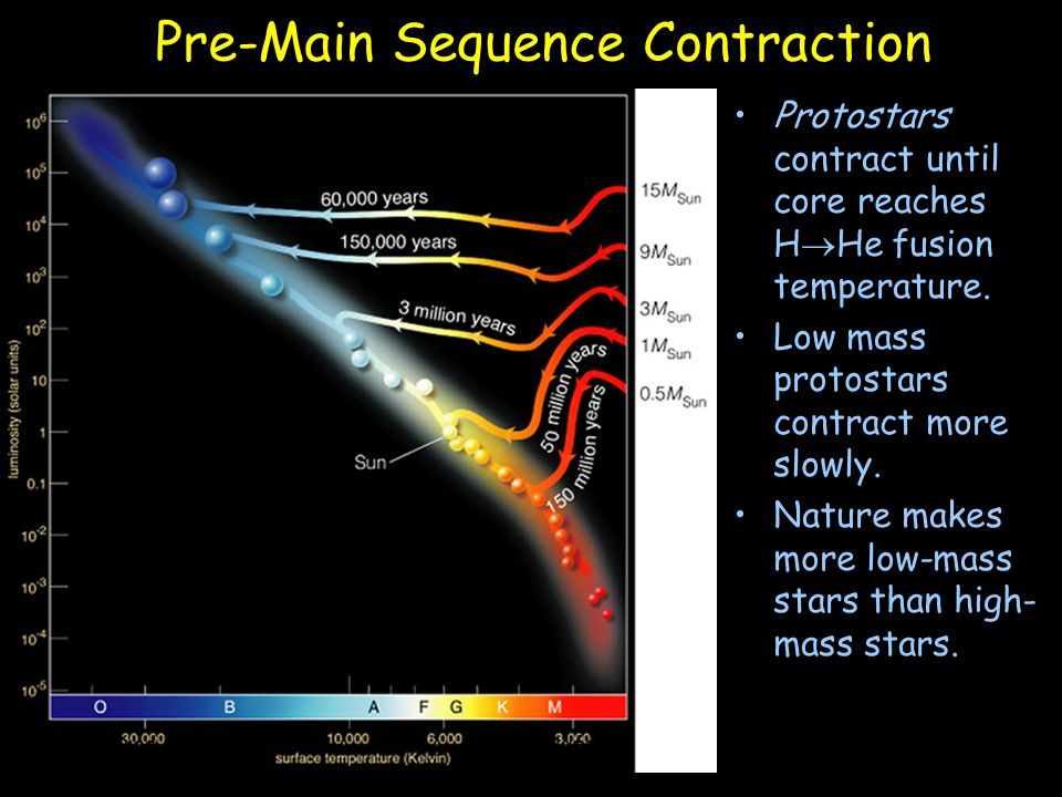 Pre-Main Sequence Contraction Protostars contract until core reaches H  He fusion temperature. Low mass protostars contract more slowly. Nature makes