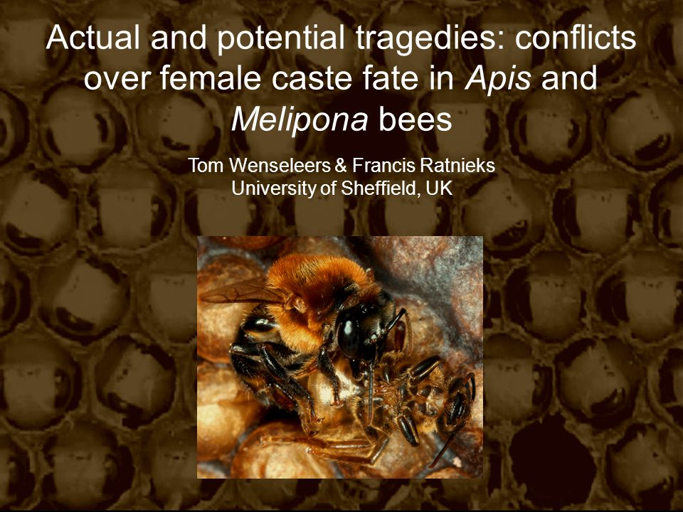 Actual and potential tragedies: conflicts over female caste fate in Apis and Melipona bees Tom Wenseleers & Francis Ratnieks University of Sheffield, UK