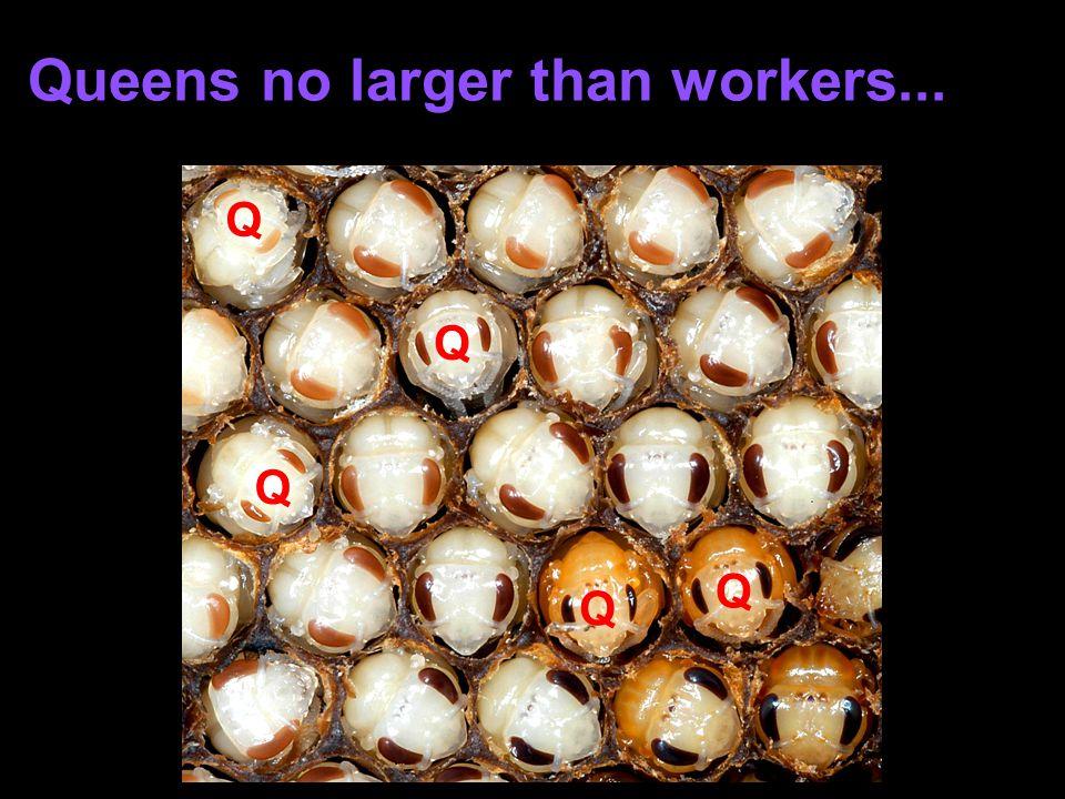 Queens no larger than workers... Q Q Q Q Q
