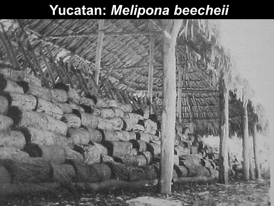 Yucatan: Melipona beecheii