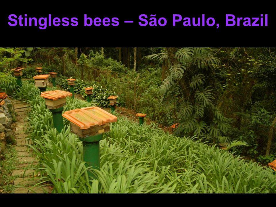 Stingless bees – São Paulo, Brazil