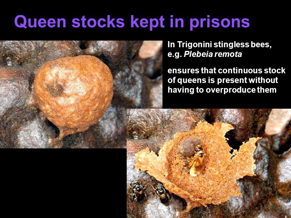 Queen stocks kept in prisons In Trigonini stingless bees, e.g.