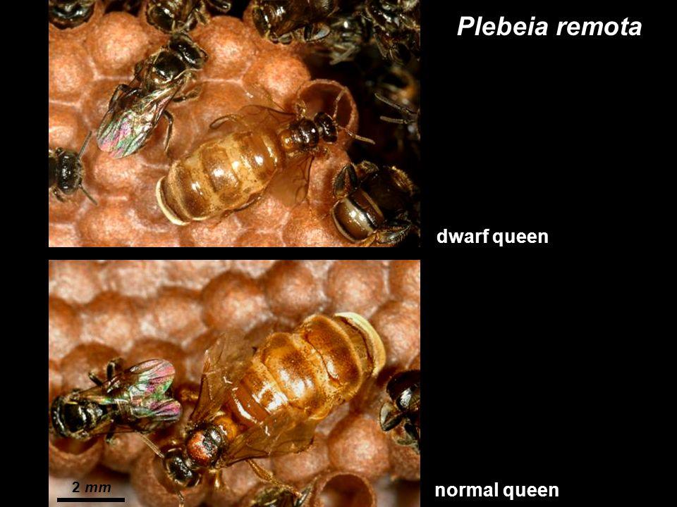 Plebeia remota dwarf queen normal queen 2 mm