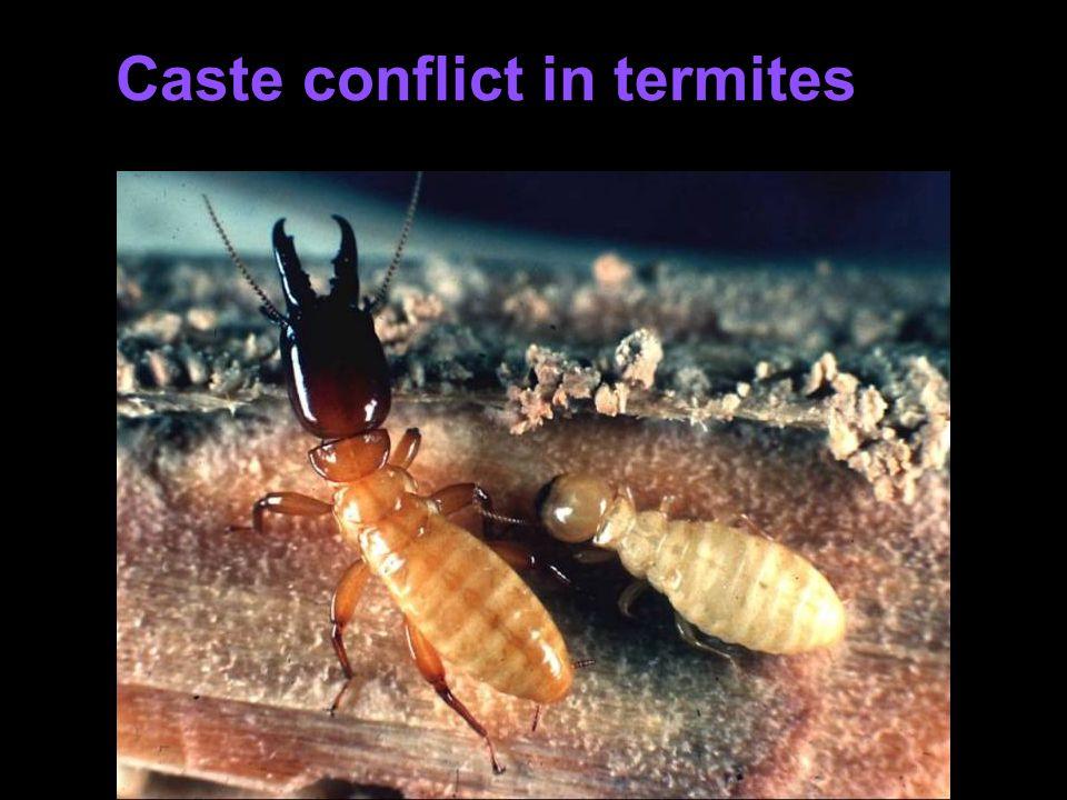 Caste conflict in termites