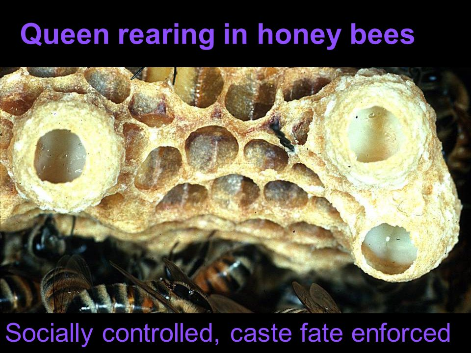 Socially controlled, caste fate enforced Queen rearing in honey bees