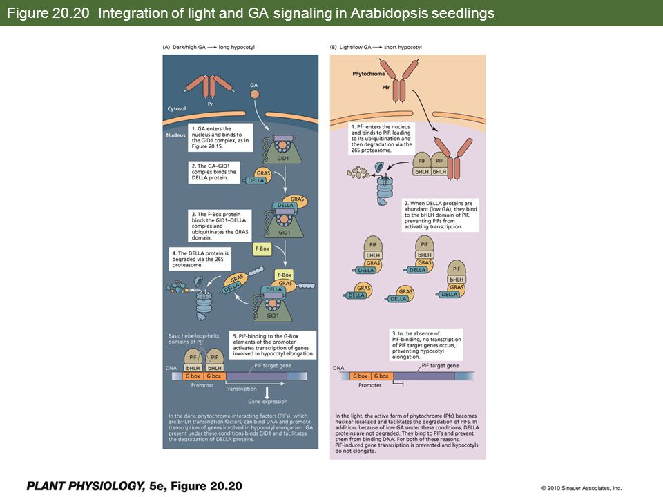 Figure 20.20 Integration of light and GA signaling in Arabidopsis seedlings