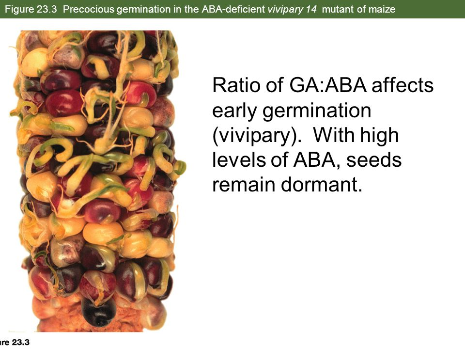 Figure 23.3 Precocious germination in the ABA-deficient vivipary 14 mutant of maize Ratio of GA:ABA affects early germination (vivipary). With high le