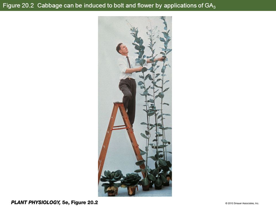 Figure 20.2 Cabbage can be induced to bolt and flower by applications of GA 3