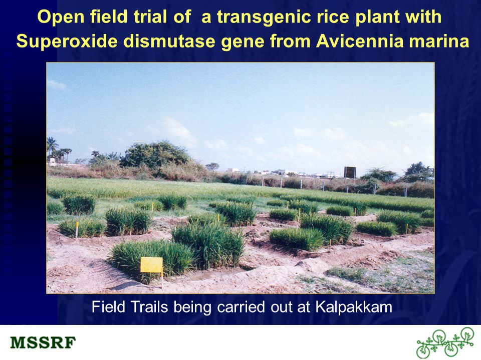 Open field trial of a transgenic rice plant with Superoxide dismutase gene from Avicennia marina Field Trails being carried out at Kalpakkam
