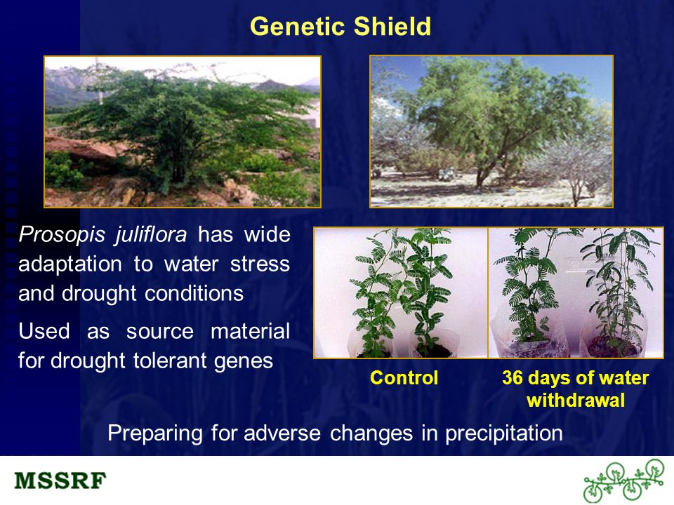 Prosopis juliflora has wide adaptation to water stress and drought conditions Used as source material for drought tolerant genes Control36 days of water withdrawal Genetic Shield Preparing for adverse changes in precipitation